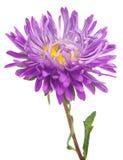 flor de los asteres Imagen de archivo libre de regalías