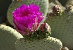 Flor de los basilaris de la Opuntia del cactus de Beavertail Imagen de archivo libre de regalías