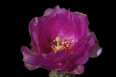 Flor de los basilaris de la Opuntia del cactus de Beavertail Fotografía de archivo libre de regalías