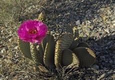Flor de los basilaris de la Opuntia del cactus de Beavertail Imagen de archivo