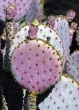 Flor de los cactos foto de archivo