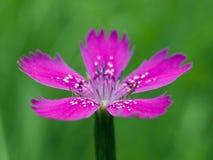 Flor de los clavos Imágenes de archivo libres de regalías