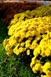 Flor de los crisantemos Imagen de archivo
