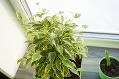 Flor de los ficus en pote verde Fotos de archivo