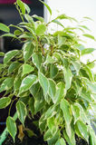 Flor de los ficus en pote verde Foto de archivo