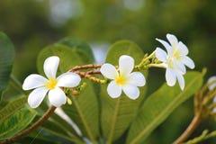 Flor de los Frangipanis Imagenes de archivo