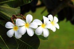 Flor de los Frangipanis Fotografía de archivo