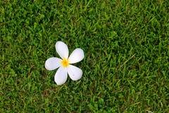 Flor de los Frangipanis fotos de archivo