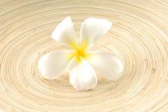 Flor de los Frangipanis Imagen de archivo libre de regalías