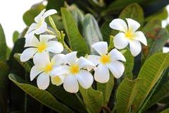 Flor de los Frangipanis en día Imagen de archivo libre de regalías