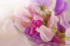 Flor de los guisantes de olor Imagen de archivo
