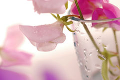 Flor de los guisantes de olor fotografía de archivo libre de regalías