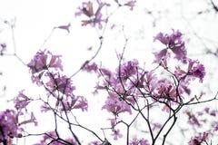 Flor de los Jacarandas aislada en el cielo Foto de archivo libre de regalías
