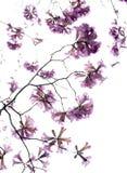 Flor de los Jacarandas aislada en el cielo Fotografía de archivo libre de regalías