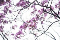 Flor de los Jacarandas aislada en el cielo Fotografía de archivo