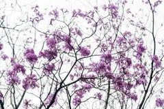 Flor de los Jacarandas en el cielo Fotos de archivo
