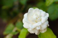 Flor de los jasminoides de la gardenia Fotografía de archivo