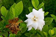 Flor de los jasminoides del Gardenia Imagen de archivo