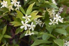 Flor de los jasminoides del Trachelospermum imagen de archivo libre de regalías
