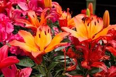 Flor de los lirios Imagenes de archivo