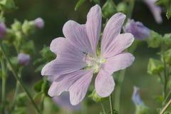 Flor de los officinalis o de la melcocha de Althaea fotografía de archivo