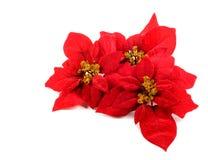 Flor de los Poinsettias Fotografía de archivo libre de regalías