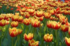 Flor de los tulipanes Foto de archivo