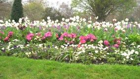 Flor de los tulipanes en Hyde Park almacen de video