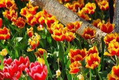 Flor de los tulipanes en jardín Fotos de archivo