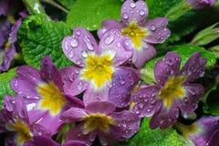 Flor de los veris de la prímula Fotografía de archivo
