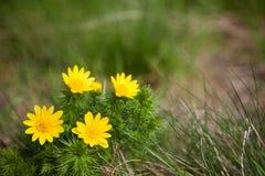 Flor de los vernalis de Adonis Fotografía de archivo