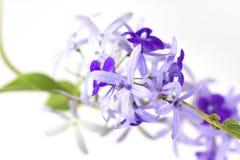 Flor de los volubilis de Petrea imagen de archivo libre de regalías