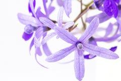 Flor de los volubilis de Petrea foto de archivo