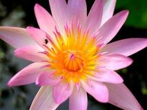 Flor de loto 01 Fotos de archivo libres de regalías