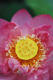 Flor de loto Fotografía de archivo