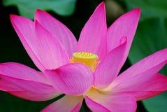 Flor de loto Fotos de archivo