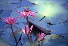 Flor de loto Imagen de archivo