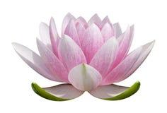Flor de loto Imagen de archivo libre de regalías