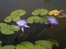Flor de Loto Fotos de Stock Royalty Free