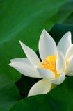Flor de loto imágenes de archivo libres de regalías