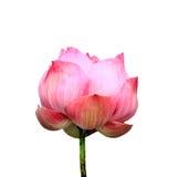 Flor de loto aislada Foto de archivo libre de regalías