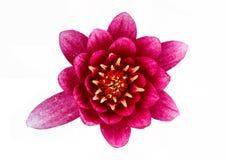 Flor de loto aislada en el fondo blanco Imagen de archivo