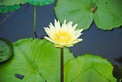 Flor de loto amarilla con agua y la hoja de la abeja Imagenes de archivo