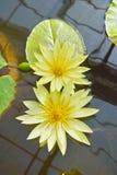 Flor de loto amarilla floreciente imagenes de archivo