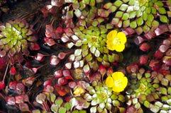 Flor de loto amarilla minúscula Imagenes de archivo