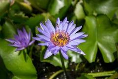 Flor de loto azul Fotos de archivo libres de regalías