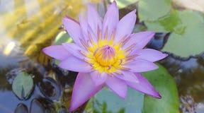 Flor de loto azul fotografía de archivo libre de regalías
