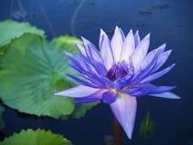 Flor de loto azul floreciente Fotografía de archivo libre de regalías