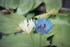 Flor de loto blanca y púrpura con la abeja Imagen de archivo libre de regalías