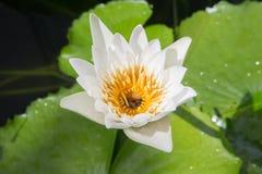 Flor de loto blanco con la abeja Imagenes de archivo